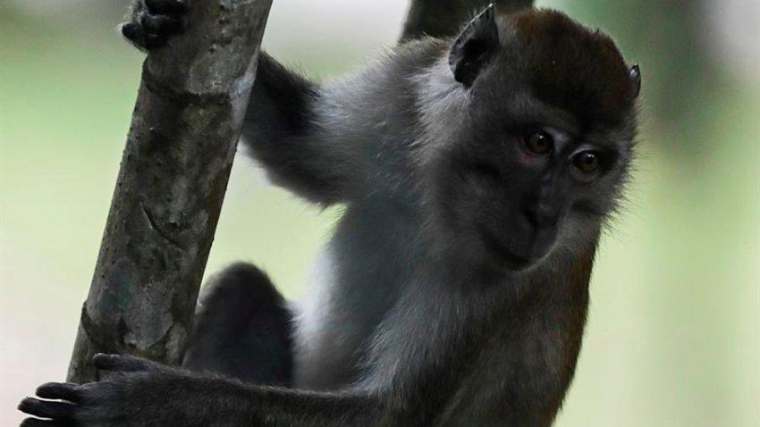 Un macaco cangrejero trepa por un tronco en un bosque de Kuala Lumpur (Malasia).