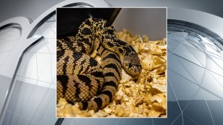 The Fort Worth Zoo joined a team of researchers in the release of dozens of endangered Louisiana pine snakes into a national forest in an attempt to revive their population.
