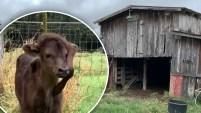 Decían que no iba a sobrevivir, pero el novillo Elise  sigue creciendo saludable una granja de Luisiana.