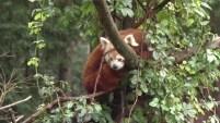 Masala, su nombre, es hembra y se encontraba en cautiverio en el Parque Sequoia, en Eureka, California.