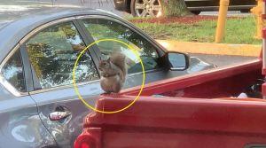 """Insólito: Ardilla """"ladrona"""" se roba de un auto algo inesperado"""