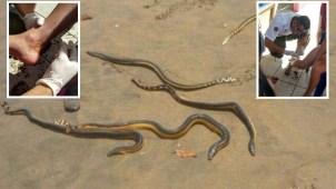 Serpientes marinas atacan a bañistas en playa