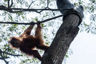 Sandra, la orangután considerada como persona no humana
