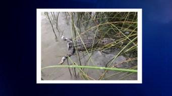 Sin cola y muerto encuentran a caimán en Lake Worth