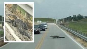 Gigantesco cocodrilo aparece en el norte de Texas