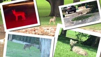 Alerta por coyotes que mataron a mascotas en el Metroplex