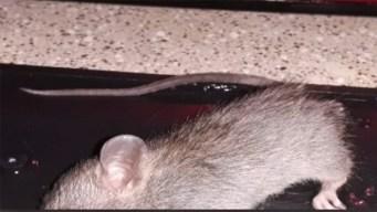 Ratas invaden un apartamento en Dallas