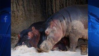 Fallece hipopótamo recién nacido en zoológico de Dallas
