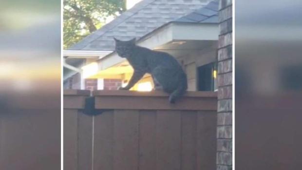 [TLMD - Dallas] Aparecen gatos monteses al norte de Texas