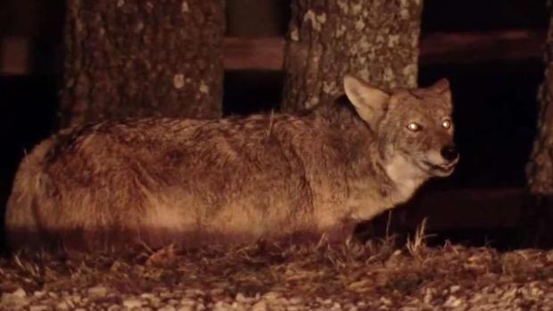 [TLMD - Dallas] Aumentan reportes de avistamientos de coyotes
