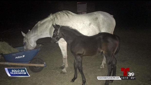 [TLMD - Dallas] Fort Worth: vive bajo tristeza tras el robo de sus caballos