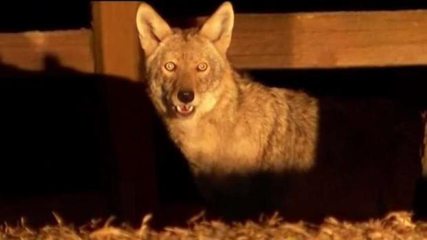 [TLMD - Dallas] Lanzan app en Frisco para rastrear a coyotes
