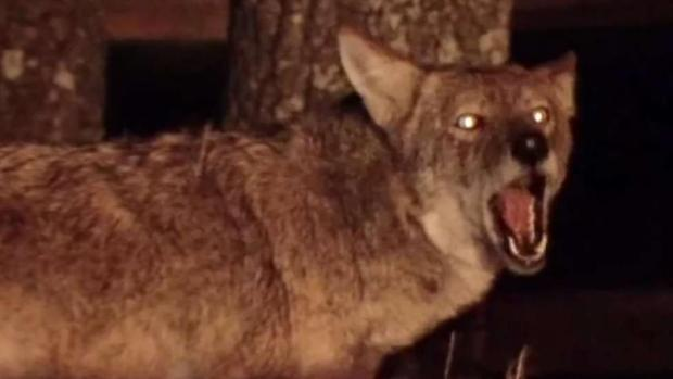 [TLMD - Dallas] No han podido atrapar a coyotes agresivos en Frisco