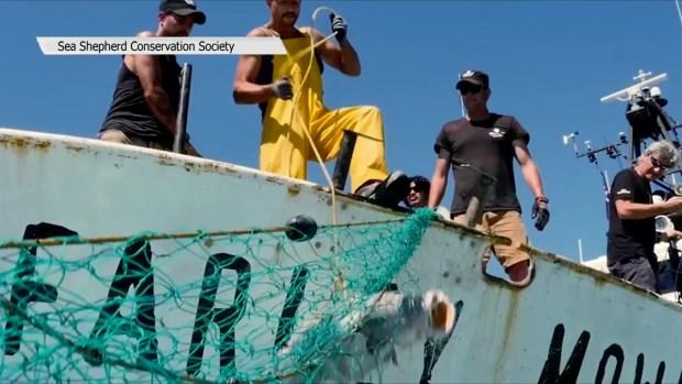 Operación Milagro V para evitar la extinción de la vaquita marina