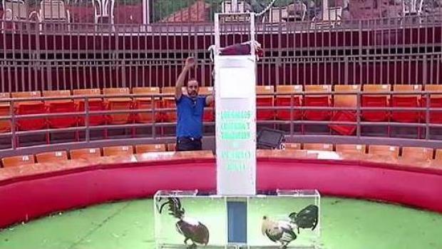 Duro golpe a la economía la prohibición de peleas de gallos