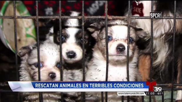 [TLMD - Dallas] Rescatan más de 70 mascotas en el Condado Van Zandt