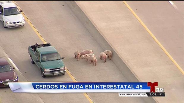 ''Cerditos en fuga'' en la carretera 45 en Wilmer, Texas
