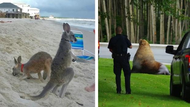 [TLMD - NATL] Insólito: canguros en la playa, león marino en el bosque y...