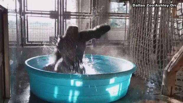 Viral: Gorila baila en alberca del Zoo de Dallas