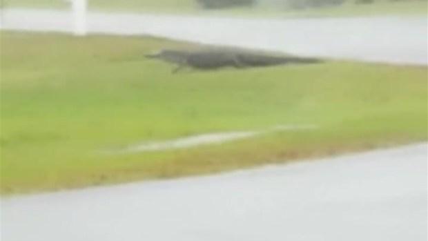 [TLMD - LV] Enorme caimán se pasea por la calle en medio de la tormenta Florence