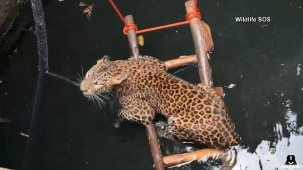 Así rescataron a un leopardo que cayó a un pozo de 30 pies de profundidad