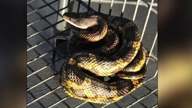 [TLMD - NATL] Aterrador: halla una serpiente enrollada en un carrito de Walmart