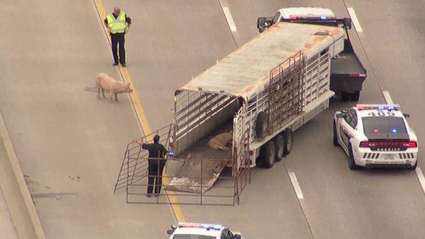 Cerditos paralizan autopista en Texas