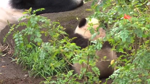 Adorables pandas se retiran a la China