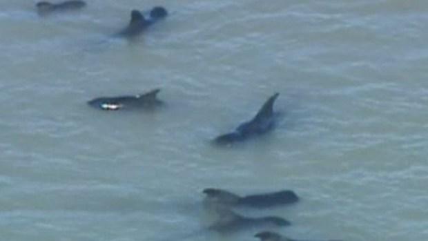 Video: Se salvan de morir 40 ballenas varadas