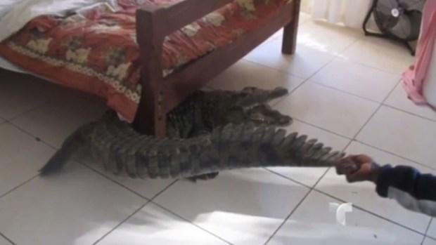 Video: ¡Sin saberlo! Durmió con un cocodrilo