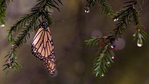 Video: Anticipan ascenso de mariposa monarca