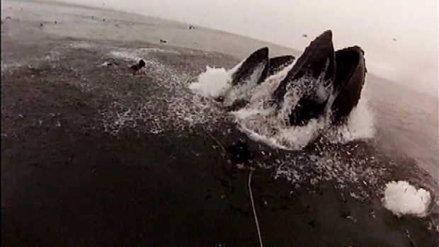 Video: Ballenas por poco se tragan a buzo