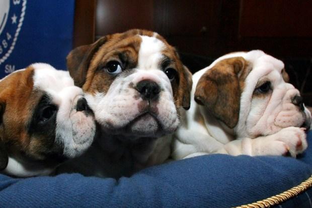 10 razas de perros más comunes en refugios de Estados Unidos