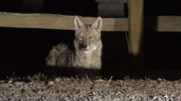 [TLMD - Dallas] Alerta por ataques de coyote en Frisco