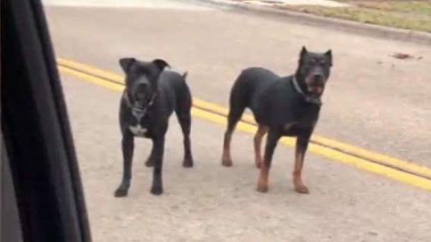 [TLMD - Dallas] Ataque de perros en Dallas
