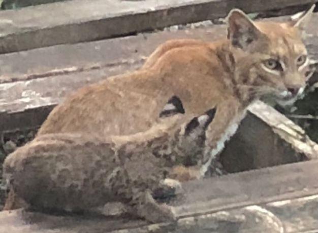 Aparece familia de gatos monteses en casa de Dallas