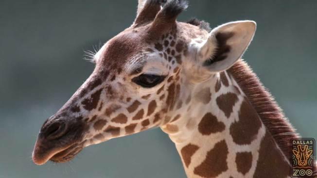 Lamentan muerte de jirafa en Zoológico de Dallas