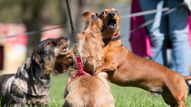Enfurecidos, perros salchicha matan a una mujer