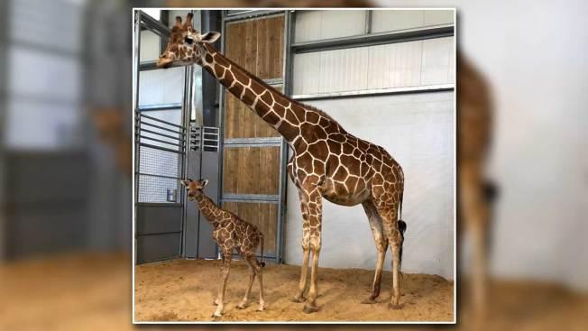 ¡Bienvenida! Nace jirafa en zoológico de Fort Worth