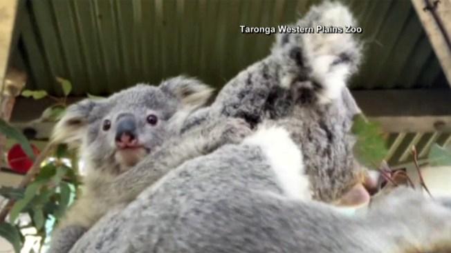 Adorables koalas son centro de atención en zoo