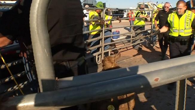 Tráiler con vacas volteado en Fort Worth