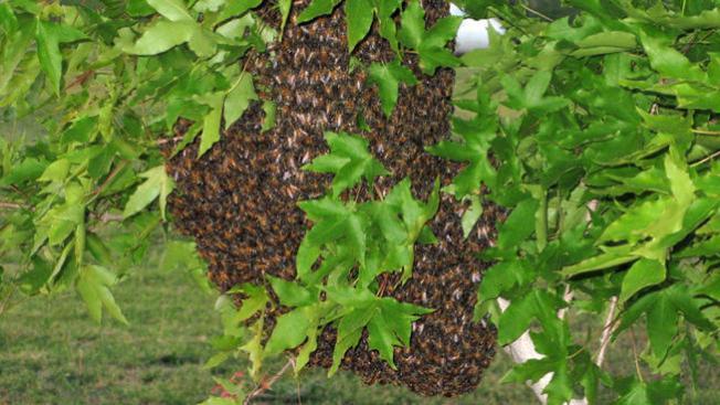 Ataque de abejas deja dos heridos
