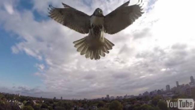 Viral ataque de halcón contra drone