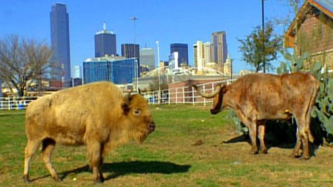 Búfalo blanco en medio de la ciudad
