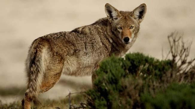 Coyote a la vista