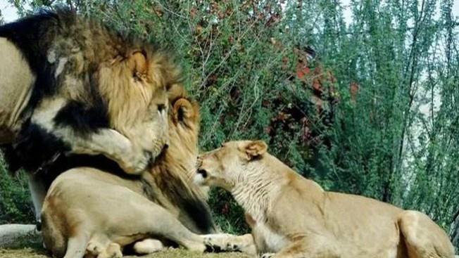 Foto podría resolver ataque entre leones