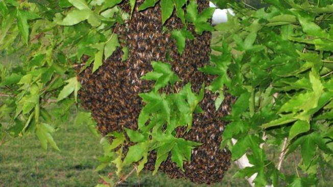 Sobrevive a 200 picaduras de abeja
