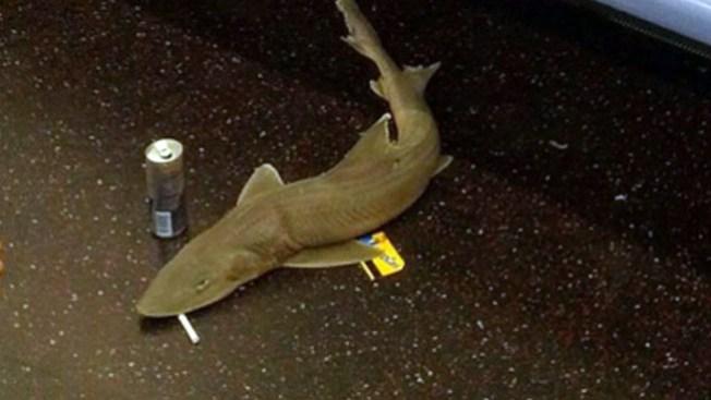Descubren qué hacía tiburón en el tren