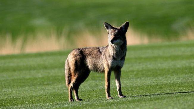 Alerta de coyotes
