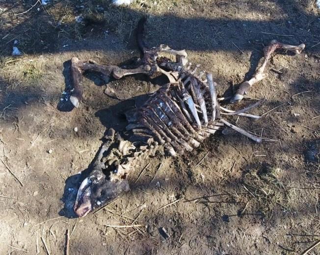 Hallazgos de toros mutilados inquieta a ganaderos y policía
